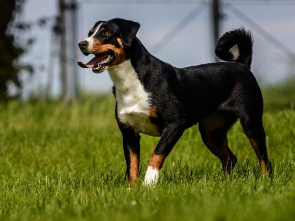 Appenzeller Sennenhunde Zwinger Vom Zieglerhof